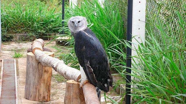 Paragominas harpy eagle