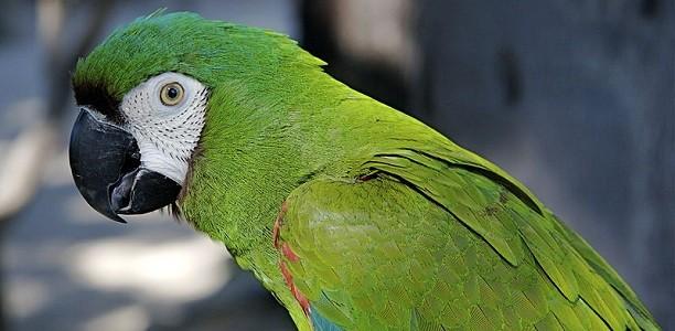 Maracana Chestnut-fronted_Macaw_Ara