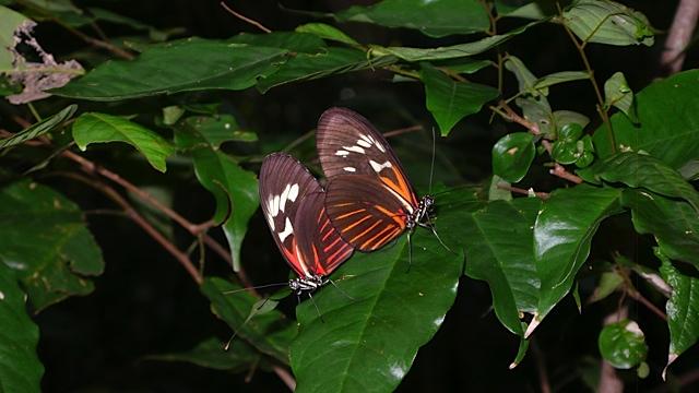 caxi sommerfugler