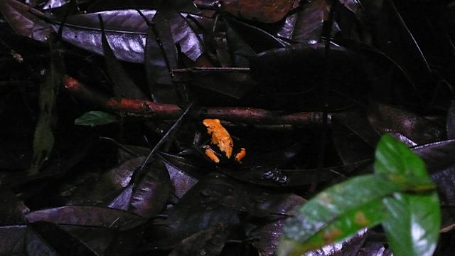 giftig frosk